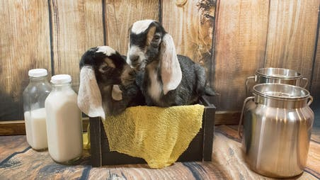 Baby Goats scaled